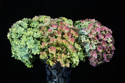 Hydrangea-Together Forever 11.6.16