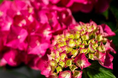 Hydrangea m  'Pia' Flowers
