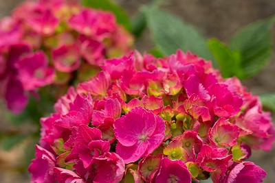 Hydrangea m  'Pia' Flower