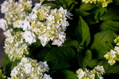 Hydrangea m  'Double Delights Wedding Gown' Flowers and Foliage