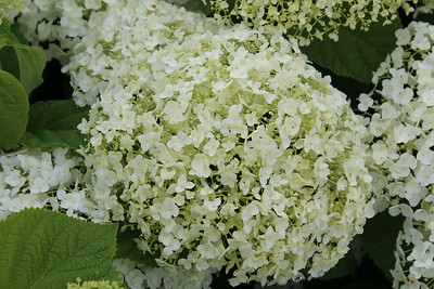 Hydrangea arborscens Incredibal R PW #5 (7-13-17) (2)