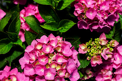 Hydrangea m  'Glowing Embers' Flowers