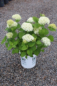 Hydrangea arborscens Incredibal R PW #5 (7-13-17) (1)