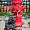 Frankie Beans helping me to find fire hydrants in Daybreak, South Jordan, Utah