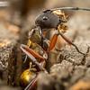 Golden Ant Renovates