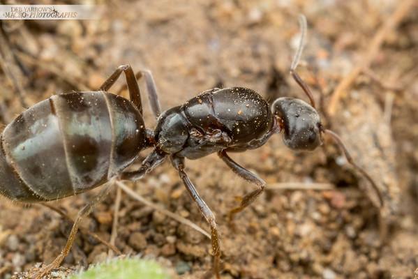 Queen Meat Ant
