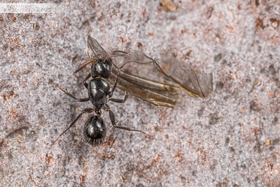 Black Ant with Wing