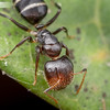 Camponotus mackayensis