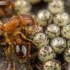 Pennant Ants