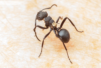 Golden Saddle Ant