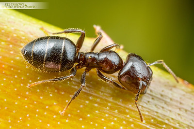 Pug-nosed Ant