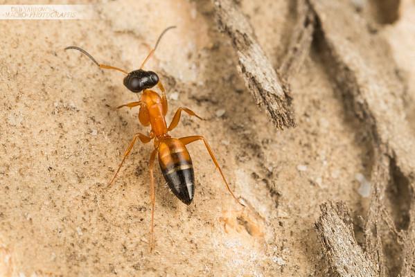 Strobe Ant
