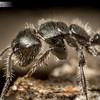 Hairy Black Ant