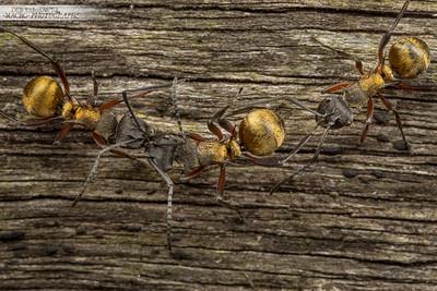 Golden Ant Argument