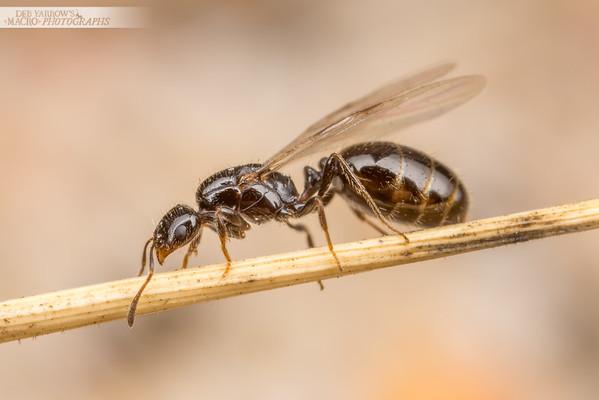 Princess Ant