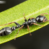 Black Tree Ant