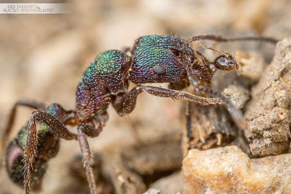 Green Head and Tiny Ant