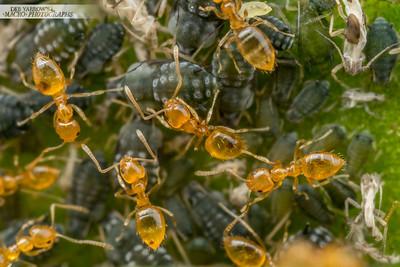 Aphid Ant Farm II