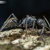 Camponotus Minor