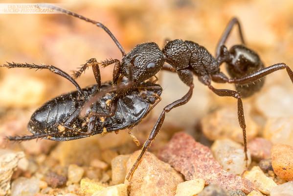 Black Rhytidoponera Ant