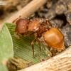 Shield Ant