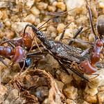 Black Assassin Vs Beef Ants