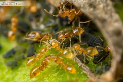 Aphid Ant Farm III
