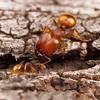Big-headed Ants