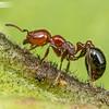 Myrmicinae Worker