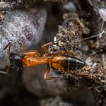 Strobe Ant With Mealybugs