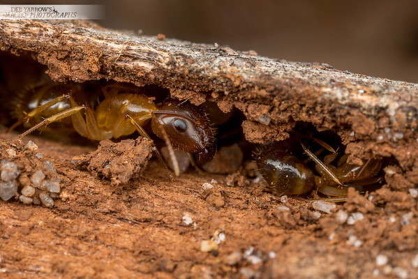 HIding Ants