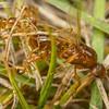 Funnel Ant Queen
