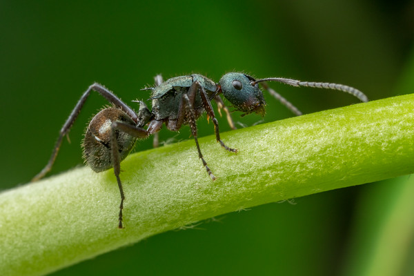 Polyrhachis Green Ant
