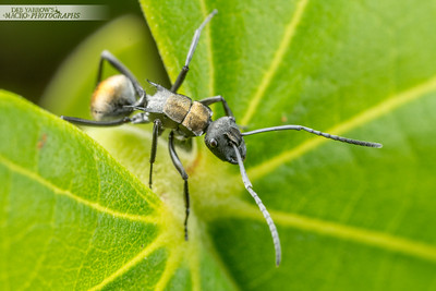 Silver Saddled Golden Spiny Ant