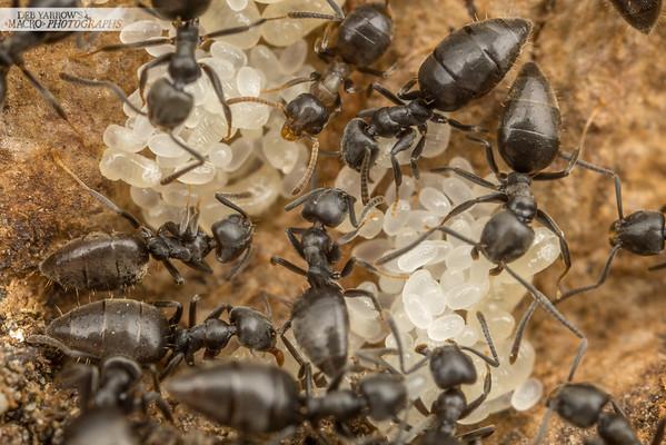 Ant Brood