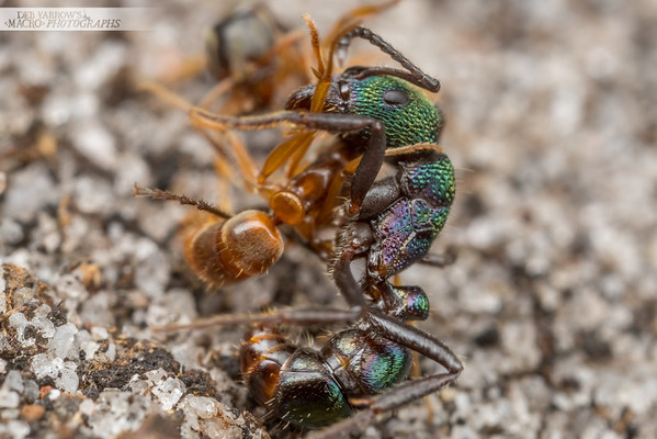 Ant Fight