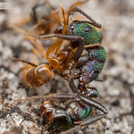 Ant Fight