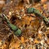 Green Head Ants