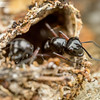 Rattle Ant Defence