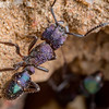 Purple Metallic Ant