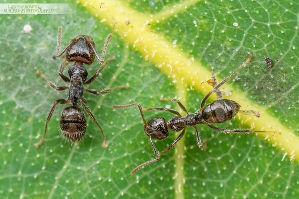 Notoncus Worker Ants