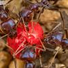 Omnivorous Ant