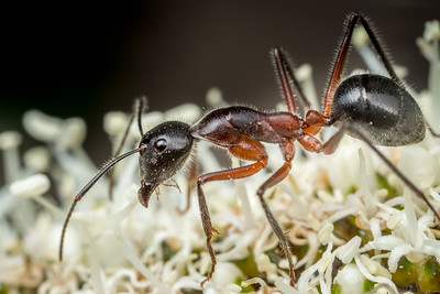 Ant on Grass Tree
