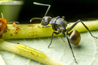 Fat Golden Spiny Ant