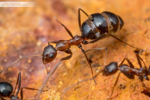 Browsing Ants III