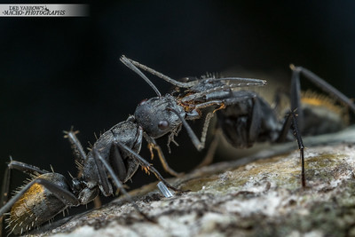 Carpenter Ant Trophallaxis