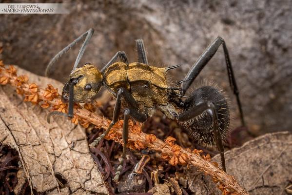 Splendid Golden Spiny Ant