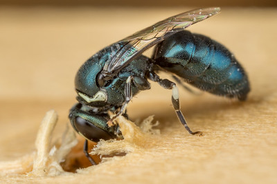 Masked Green Bee