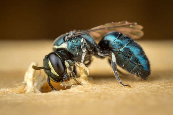 Blue-Green Masked Bee