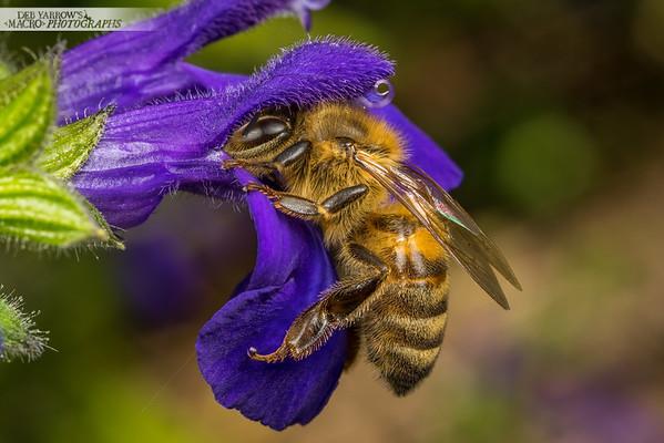 Honey Bee on Salvia